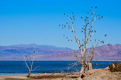 The Cormorant Tree (m e a n d e r i n g s) Tags: california tree cormorants dead imperial sonnybono saltonsea nwr