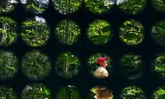 Man in red cap (PeterThoeny) Tags: sanfrancisco california red man tree green art window deyoungmuseum museum person raw mesh fav50 indoor screen cap round redcap deyoung hdr photomatix metalmesh 1xp nex6 sel50f18
