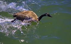 Running In Water (swong95765) Tags: motion bird water river running run goose splash willamette canadagoose momentum