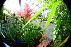 180.366.fdt#140.garden (olivgrau) Tags: plant flower green garden outdoor tuesday fd day180 facedown day910 fdt day180366 facedowntuesday 366the2016edition 3662016 28jun16