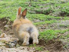 B6250717 (VANILLASKY0607) Tags: rabbit bunny bunnies nature animal japan photo wildlife wildanimal hydrangea rabbits rabbitisland wildrabbit okunoshima