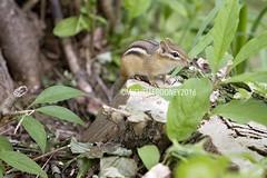 IMG_4605eFB (Kiwibrit - *Michelle*) Tags: tree grass birds woodpecker squirrel maine feeder chipmunk monmouth 2016 061916