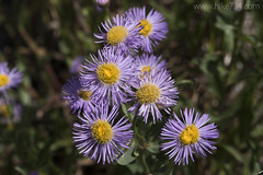"Aster • <a style=""font-size:0.8em;"" href=""http://www.flickr.com/photos/63501323@N07/27559646630/"" target=""_blank"">View on Flickr</a>"