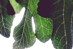 garden (3 of 5) (nngmao) Tags: nature leaves garden waterdroplets wetleaves