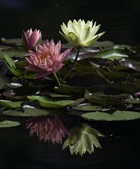 WaterLilly_SAF74671 (sara97) Tags: park flower nature outdoors missouri saintlouis forestpark citypark urbanpark aquaticflower photobysaraannefinke copyright2016saraannefinke