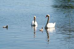 Family Time (Villa Ylle) Tags: pellinki pellinge finland swans theuglyduckling cygnysolor cygnus olor knlsvan kyhmyjoutsen denfulankungen