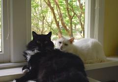 Ebony and Ivory (aka Batman and Charlie) (rootcrop54) Tags: cats white male window cat chat sweet longhair charlie tuxedo kitteh batman lounging  macska gatto katzen kot koka kedi katt kissa kttur maka kucing  allwhite   kat  maek kais gorbe