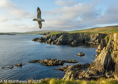 Fulmar over cliffs at Spiggie