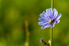 P2_S3_Bartoszek (Eridony) Tags: columbus ohio flower nature bee italianvillage franklincounty
