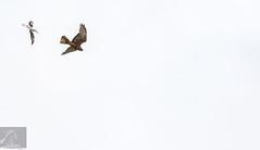 Pied Stilt 22 (Black Stallion Photography) Tags: newzealand brown white black bird photography high wings key open image wildlife flight prey pied stallion stilt australasian harrier nzbirds igallopfree