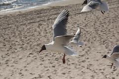 Black-headed Gull (katyarud) Tags: travel birds larusridibundus usedom blackheadedgull laridae  charadriiformes