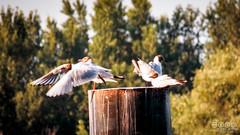 Gulls? Gulls! (c_igor) Tags: bird birds danube flock flockofgulls gull gulls rivergulls