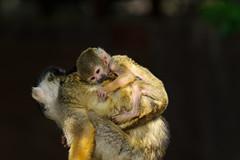 20160618 Izu Shaboten Park 2 (BONGURI) Tags: baby animal zoo monkey nikon child jp ito  shizuoka           saimiri   izushabotenpark d3s afsvrzoomnikkored70200mmf28gif