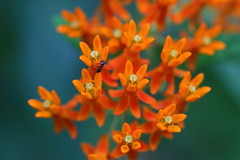 Butterfly Weed (astro/nature guy) Tags: illinoisflower illinoisplant plant flower champaignflower champaignplant butterflyweed milkweed