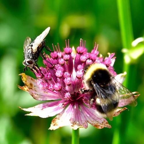 Bee vs fly #bee #fly #flower #dagstuhl #schlossdagstuhl #nikon #d750 #bugs #insect #instagram #macro