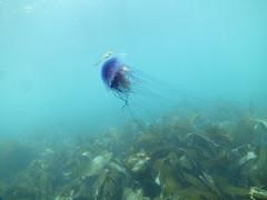 Blue stinger (roger_forster) Tags: jellyfish lundy devon underwater scuba naturallight wideangle cyanealamarkii