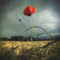 Tango (M a r i k o) Tags: camera red summer flower field grass barley mobile clouds square moody sommer feld squareformat poppy mariko atmospheric iphone mohn mohnblume gerste mobilephotography iphonephotography iphoneography hipstamatic phototoaster iphone6s