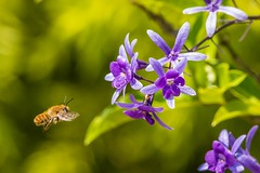 PGC_8479-20151013 (C&P_Pics) Tags: plants southafrica lodge bee za scenes limpopo pgc insectsandspiders tzaneen southafrica2015 bramasolelodge mtsheiba