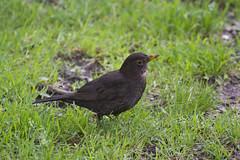 Blackbird (Sergey Yeliseev) Tags: turdusmerula blackbird