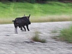 Wild boar 02-20160724 (Kenneth Cole Schneider) Tags: florida miramar westbrowardwca