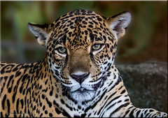 'beautiful leopards'  Explored (d-lilly) Tags: costarica costarica2016 leopard naturestapestryphotoadventuretours vacation 2016