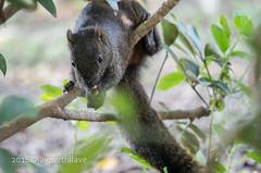 Pallas's squirrel (jperthllave) Tags: rodent squirrel pentax rodentia chiangkaishekmemorialhall smcpda50200mmf456ed pallasssquirrel