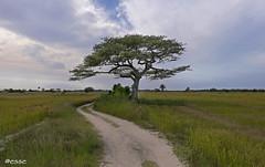 i say i' sto cca (_esse_) Tags: senegal albero tree arbre sentiero path sente djerdejef curva turn virage delrispetto edellesoluzioni amodoloro cheunbelmodo