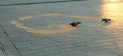 Duiven Eten Ring (josbert.lonnee) Tags: duiven eten pigeons eating