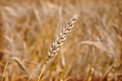la campagne cambrsienne avant la moisson 1/2 (.Sophie C.) Tags: rumillyencambrsis 59 nord leshautsdefrance cambrsis moisson bl crales corn pi