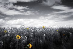 Seven (Ans van de Sluis) Tags: surreal bw blackwhite blackandwhite ansvandesluis sunflower summer august germany field meadow flowermeadow yellow monochrome art
