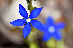 proljetni encijan ili proljetni sranik (Gentiana verna / Spring gentian / Frhlings-Enzian / spomladanski svi) (Hrvoje aek) Tags: plava plavo blue proljetniencijan encijan proljetnisranik sranik proljetnasiritara kaluerak sitnolistnavladisavka gentianaverna springgentian frhlingsenzian spomladanskisvi kepa jepa mittagskogel karavanke karawanken karawanks alpe alps alpen alpi cvijet flower cvijee flowers biljka plant biljke plants nature closeup planina mountain planine mountains planinarenje hiking priroda granica border hribi slovenija slovenia slowenien austrija austria sterreich makro macro ljeto summer d3300 bloom