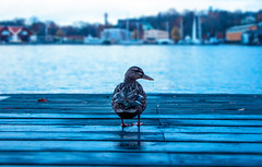 Lonely Duck (Chacky) Tags: sweden stockholm november canon bokeh canon600d 600d city urban duck animal lover water blue