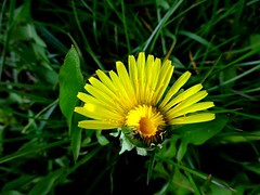 A dandelion (Aga Dzicio) Tags: flower plant yellow petals mniszek mniszekpospolity mniszeklekarski taraxacumofficinale ruderalia