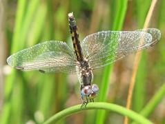 Dragonlet vs. Blue dasher (Vicki's Nature) Tags: littlebluedragonlet female tiny dragonfly obelisking upsidedown wings brown spots grass curve curvy twocolors biello georgia vickisnature canon s5 1607