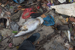 Dead fishes at Lim Chu Kang Jetty, 9 Mar 2015 (wildsingapore) Tags: fish nature island death marine singapore underwater wildlife litter coastal shore threats farms mass intertidal seashore marinelife aquaculture wildsingapore limchukang massfishdeath