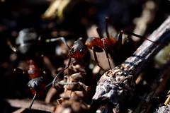 Formica rufa (enlyfqg) Tags: macro ant ameise myre formicarufa redwoodant rødskovmyre rotewaldameise
