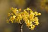 Cornus mas (gripspix (OFF)) Tags: bloom blüte hartriegel kornelkirsche europeancornel amongthegarbageandtheflowers 20150324 corunusmas