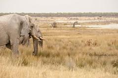 La ritirata (cocciula) Tags: africa trip elephant animal animals branco fauna leoni lion via lions namibia viaggio vacanza etosha africanelephant elefante fuga 2014 savana elefanti africanmammals etoshanationalpark convivenza faunaafricana duegiridiruote