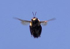 waiting to attack (ucumari photography) Tags: nature insect buzz nc wings wildlife north flight bee carolina april 2015 specanimal ucumariphotography dsc8768