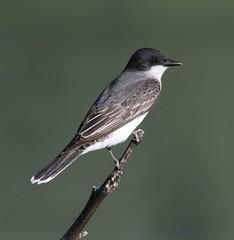 Eastern Kingbird (AllHarts) Tags: memphistn easternkingbird naturesspirit southplant stunninganimalsandbirds soarinnaturesspirit beaksfeathers