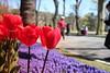 IMG_4144 (Gökmen Kımırtı) Tags: flower tulip 2015 emirgan laleler
