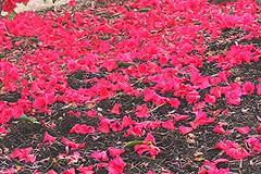 Spring flowers 017 (ianharrywebb) Tags: flowers flower springflowers rbg iansdigitalphotos