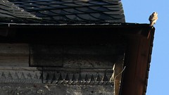 (:Linda:) Tags: bird church germany town triangle thuringia spire kestrel dreieck themar turmfalke dentil