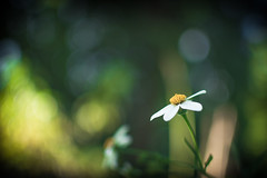 One piece white beauty (skinnestrock79) Tags: autumn white flower color nature beautiful beauty 35mm garden one nice backyard nikon natural bokeh single piece dx 18g d7100