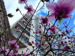 Greetings from Vancouver! (peggyhr) Tags: pink blue sky white canada glass vancouver clouds concrete bc magnolias thegalaxy 50faves peggyhr thegalaxyhalloffame thelooklevel1red ipadmini3