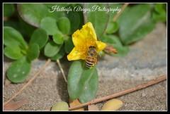 #bee  #bees #honey_bee  #insect #insects #nature #macro #نحل #نحل_العسل #ماكرو #حشرات #حشرة (alrayes1977) Tags: macro nature insect bees insects bee honeybee حشرة ماكرو حشرات نحل نحلالعسل