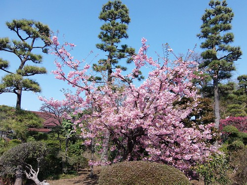 #9544 Kawazu-zakura (カワヅザクラ)