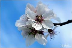 PETALES ET COULEURS (Gilles Poyet photographies) Tags: nature fleurs soe auvergne cerisier beaumont puydedme autofocus aplusphoto artofimages rememberthatmomentlevel1