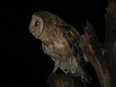 Barn Owl (Nelson Contardo) Tags: chile birds barn alba aves owl lampa region birdwatching metropolitana rm lechuza tyto buhos