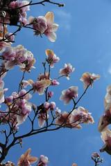 Frhlingshafte Farbkontraste (Poesia's Picture's) Tags: spring april magnolien 2015 frhling